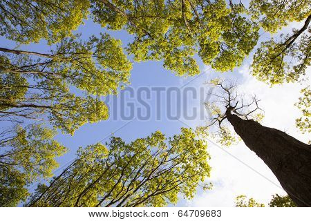 Fresh Leaves Of  Oak Trees And Blue Sky
