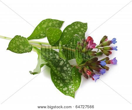 Lungwort medicinal