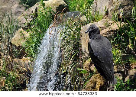 Black Vulture Latin name Coragyps atratus