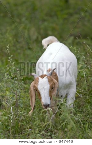 A Goat Eating