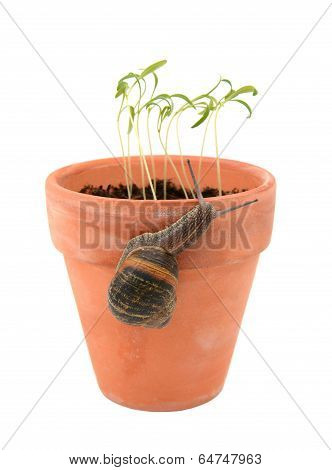 Garden snail climbing a terracotta flowerpot to attack young seedlings isolated on a white background poster