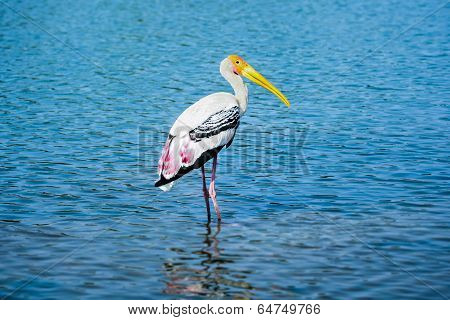 A painted stork wading through the water poster