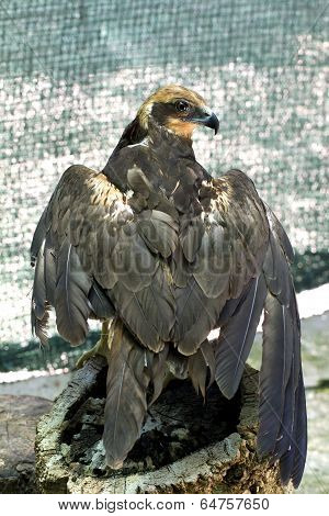 Eagle With A Broken Wing