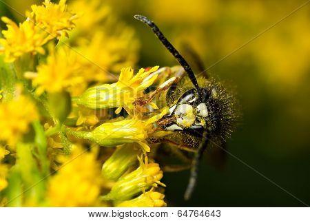 A Bald-faced Hornet Feeding From A Yellow Flower