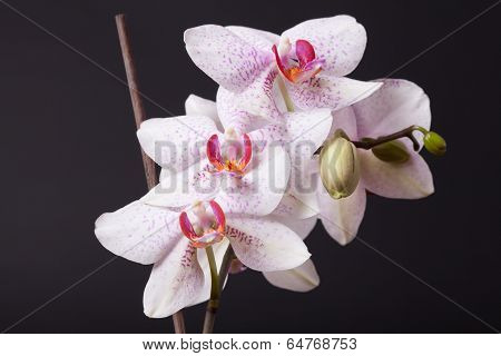 White And Pink Moth Orchid On Black