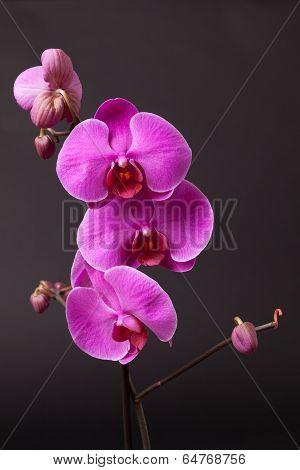 Purple Moth Orchid On Black