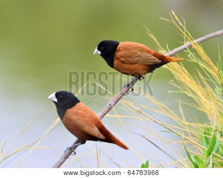 Black-headed Munia Bird On The Branch With Clear Green Background Breeding Season