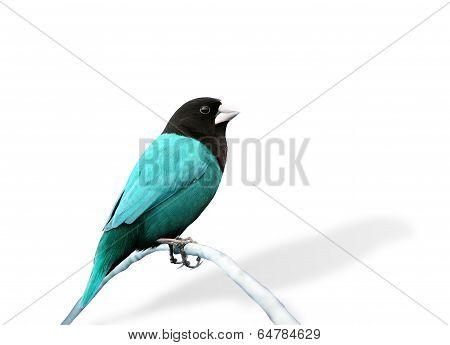 Blue Bird In Fancy Color (black-headed Munia)