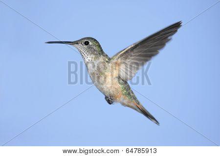 Broad-tailed Hummingbird (selasphorus Platycercus)