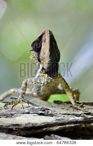 Closeup Of Masked Or Great Spiny Or Boulenger Long Headed Lizard