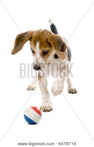 Beagle Puppy Chasing Ball