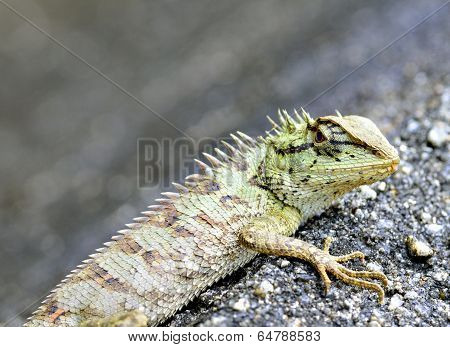 Green Crested Lizard Or Boulenger Long Headed Lizard (pseudocalotes Microlepis) Lying On The Floor
