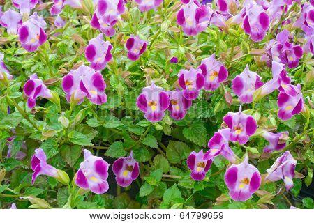 Beautiful colurful Torenia Wishbone flower in the garden