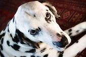 Dull Dalmatian lying and staring straight up. poster