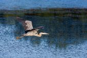 Great Blue Heron Flying to a new fishing location. poster