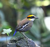 Beautiful Female of Banded Pitta bird (Pitta guajana) poster