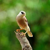 Venus-breasted Starling bird (Sturnus burnammicus) standing on the log with nice stances poster