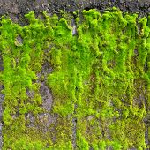 green moss on the wall texture background poster