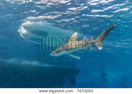 Shark Close To Dive Boats