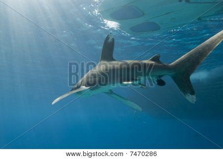 Shark Under Pedalo