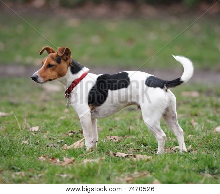 Jack Russell Terrier Standing In A Park