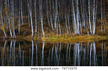 Water reflections of autumn birch