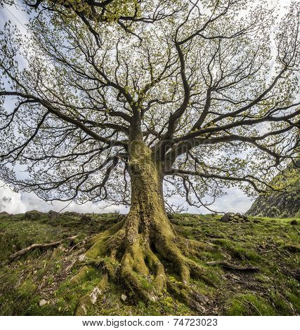 Branches and roots of big tree, Uplands, Scotland
