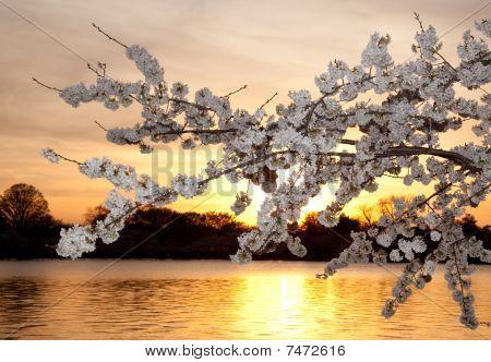 Cherry Blossoms Against Sunset