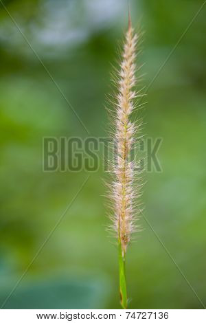 Feather Grass Or Needle Grass on green bokeh background poster