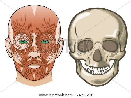 Human Facial Anatomy And Skull In Vector
