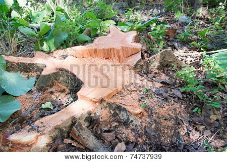 Stump Of A Cut Down Cedar Tree
