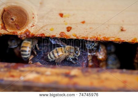 Closeup Of A Honey Bee Through A Pollinator Pallet In An Apiary