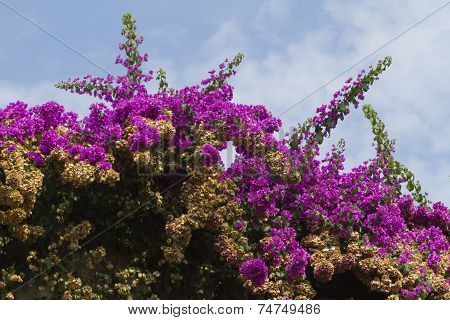 Bouganvillea In Summer