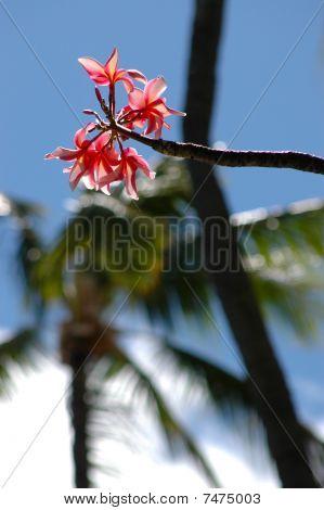 A pink frangipani (plumeria) flower