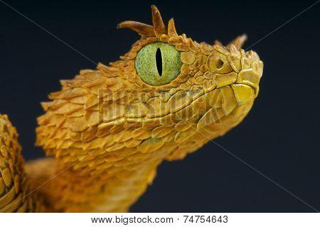 Eyelash bush viper / Atheris ceratophora