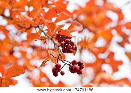 Colors Of Fall (red Berries Over Blurred Orange Foliage Background)
