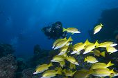 Underwater camera man/videographer filming tropical fish.Red Sea Egypt. poster