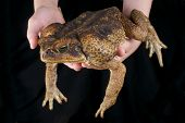 The cane toad is a giant toad species originally from South America. These amphibians have been introduced to many other countries and are considered pests. poster