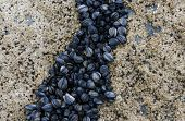 Mussel and barnacle on a rock at sea. poster