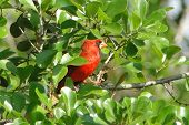 red male cardinal that is hiding in the green bushes poster