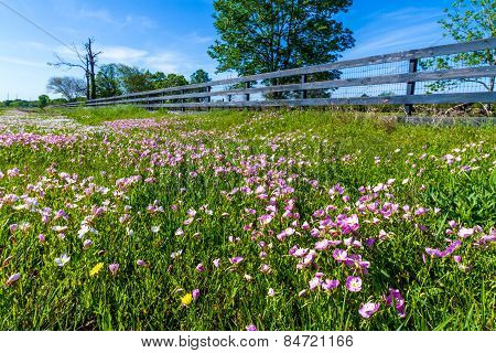 Texas Pink Wildflowers with Old Wooden Fence