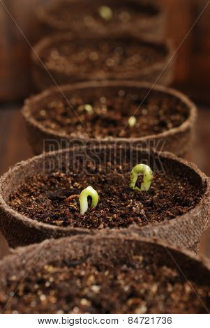 Row of biodegradable starter pots with bean seedlings in organic potting soil.  Selective focus limited to seedling with water droplet.