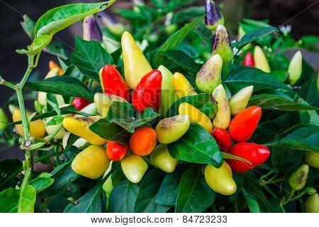 Colorful Ornamental Pepper