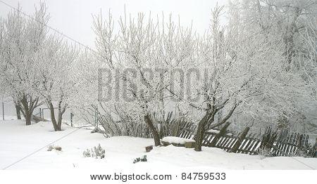 Tree plum in the winter garden.