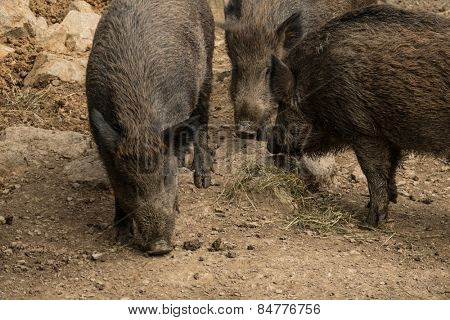 Wild pigs at the zoo.