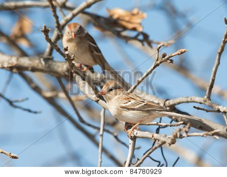 Field Sparrow perched on an Oak tree, with another one in the background, against blue winter sky