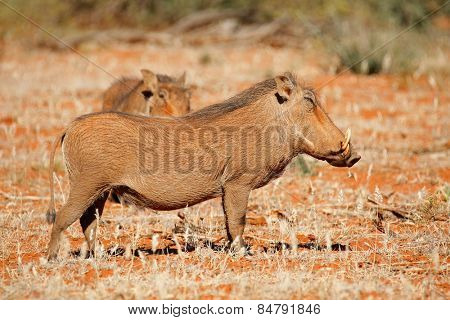 Two warthogs (Phacochoerus africanus) in natural habitat, South Africa