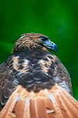 Vertical photo of red-tailed hawk in sharp profile with blurred tail poster