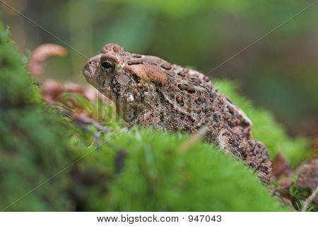 American Toad, Bufo Americanus, Vermont
