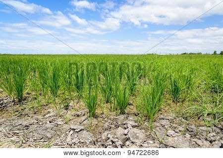 poster of Rice Sprout in Rice field.Rice seedlings green background.